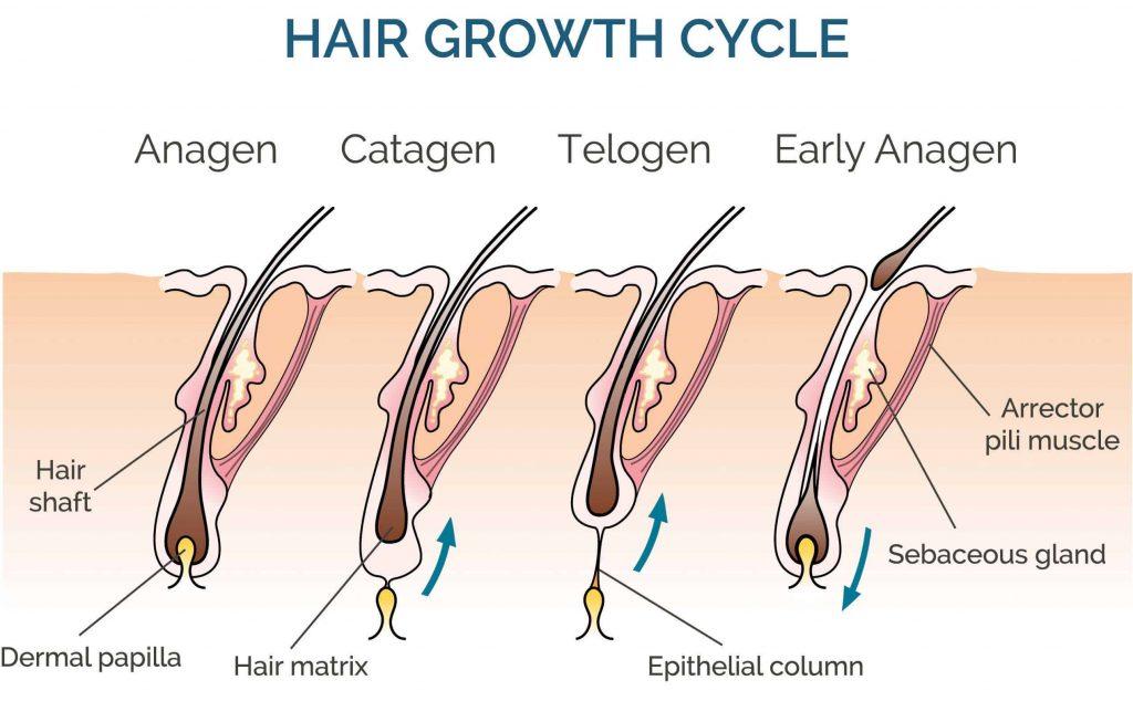 Le quattro fasi del ciclo di crescita dei capelli