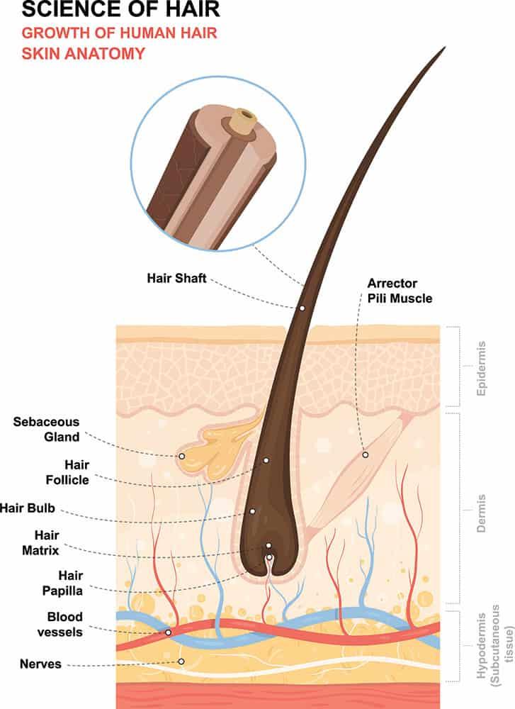 crescita dei capelli umani